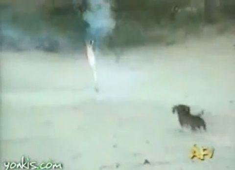 犬 花火を咥えて暴走01