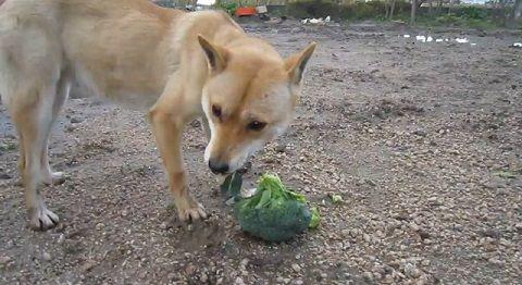 柴犬 野菜大好き02