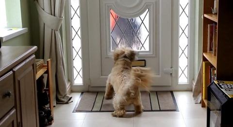 犬 郵便を散らかすシーズー02