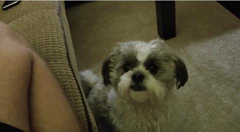犬 クッキー欲しいシーズー07