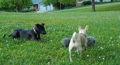 犬猫 チワワブロック02