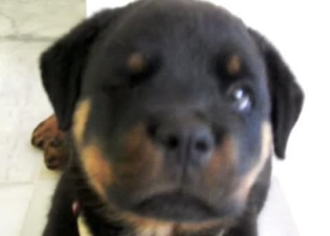 子犬 ロットワイラーのしゃっくり02