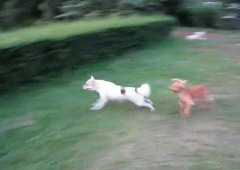 犬 飛び越える犬と越えられない犬01