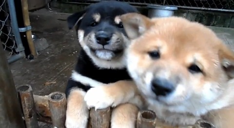 子犬 2匹の柴犬に懐かれる02