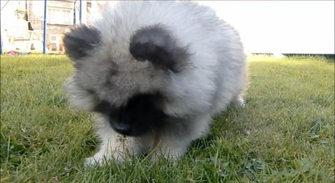 子犬 vsタンポポ06