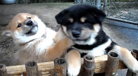 子犬 2匹の柴犬に懐かれる03