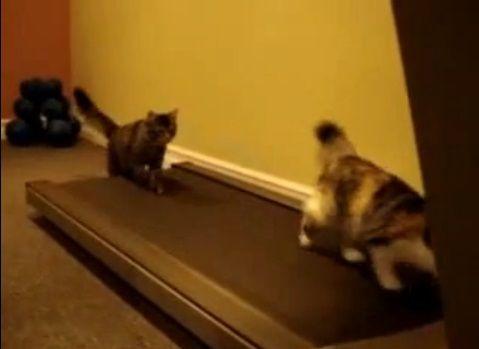猫 ルームランナーで歩こうと02
