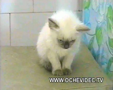 子猫 チキンを丸ごとかっぱらい03