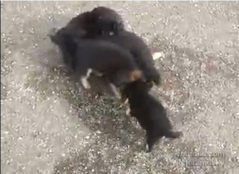 犬猫 子犬に襲われる猫03