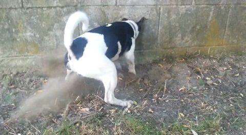 犬 穴掘りどんどん06