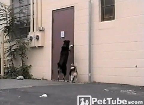 犬 犬のためにドアを開けてあげる犬03