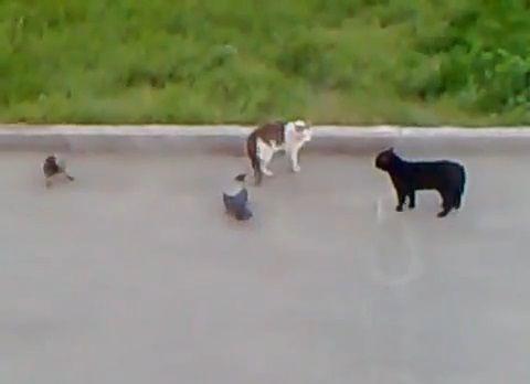 猫 vsカラス2匹と黒猫03
