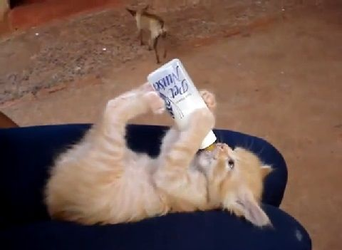 子猫 哺乳瓶を自分で00