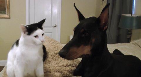 犬猫 ドーベルマンとじゃれる猫00