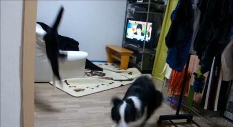 犬猫 誘い上手なボーダーコリー04