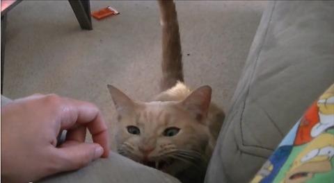 猫 撫でろの催促01