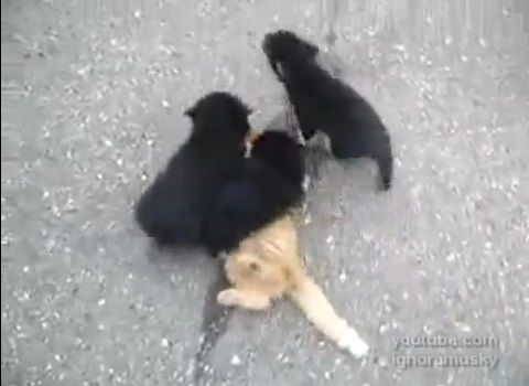 犬猫 子犬に襲われる猫05