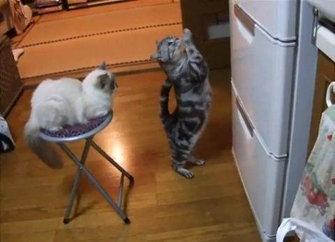 猫 冷蔵庫前で拝み続ける01
