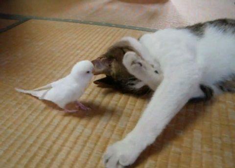 猫 インコにちょっかいされる02