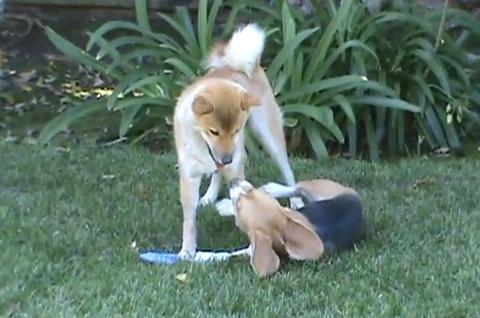 柴犬vs 00