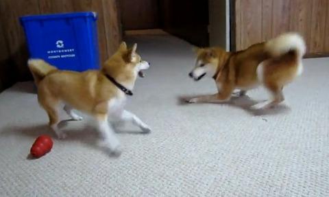 柴犬vs 04
