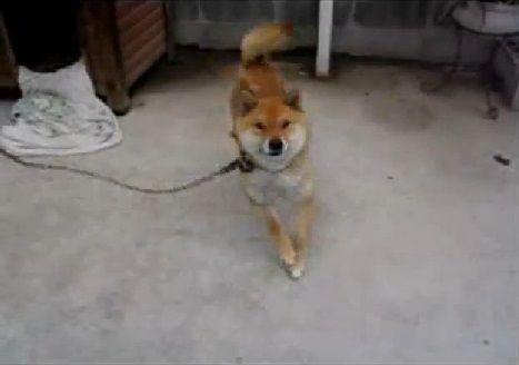 柴犬 DANCE01