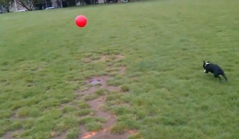 犬 大きなボールを追いかけて跳ね飛ばされる01