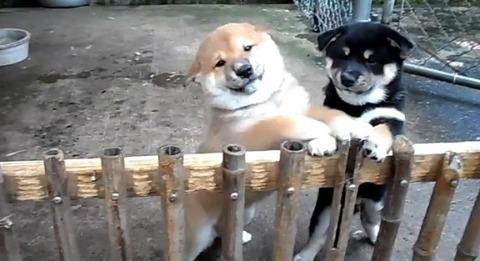 子犬 2匹の柴犬に懐かれる00
