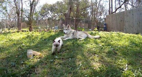 犬猫 狼犬と子猫01
