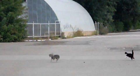 犬猫 ゆっくり近付き、喧嘩!でも犬が07