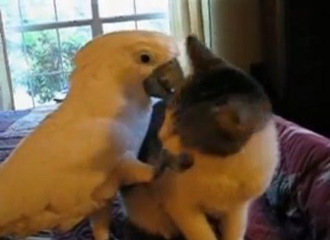 子猫 オウムがナデナデ04