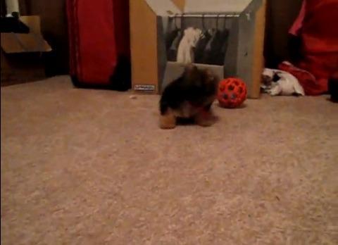 子犬 ヨーキーと遊ぶ07