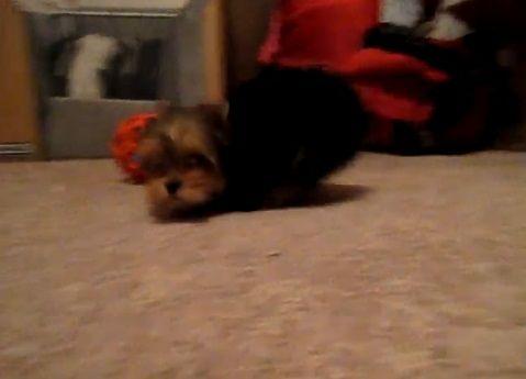 子犬 ヨーキーと遊ぶ05