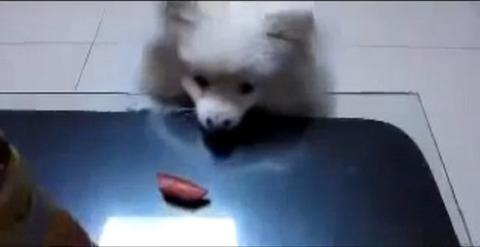 犬 白ポメ 届かない00