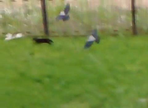 猫 vsカラス2匹と黒猫08