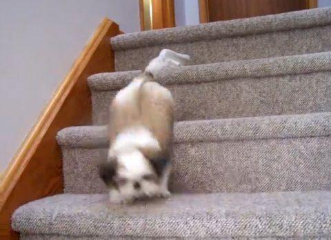 子犬 シー・ズーが階段をちょっとずつ降りる03