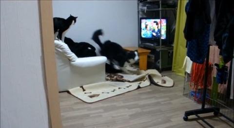 犬猫 誘い上手なボーダーコリー03