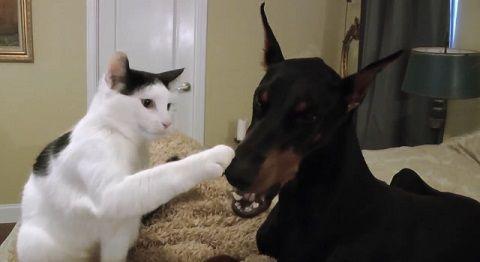 犬猫 ドーベルマンとじゃれる猫03