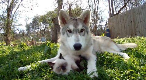 犬猫 狼犬と子猫06