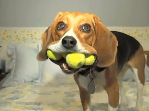 犬 ボール取って10