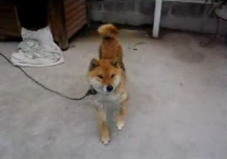 柴犬 DANCE02