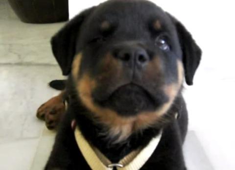子犬 ロットワイラーのしゃっくり01