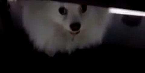 犬 白ポメ 届かない08