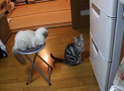 猫 冷蔵庫前で拝み続ける04