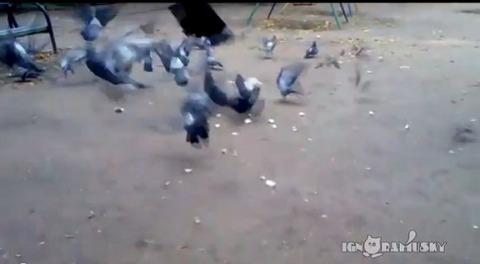 犬 鳩に突撃01