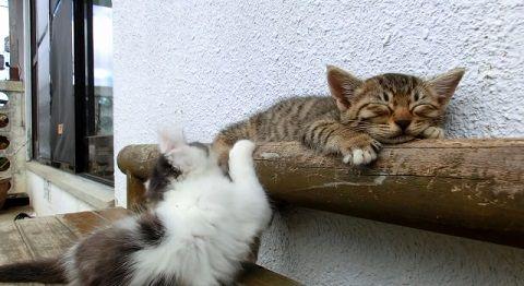 子猫 寝ている子猫に遊んで欲しい03