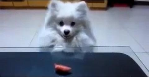 犬 白ポメ 届かない09