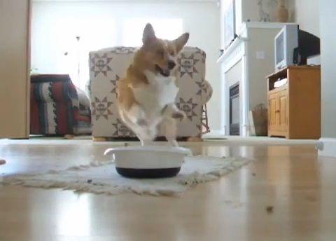 犬 餌が来るとピョンピョン01
