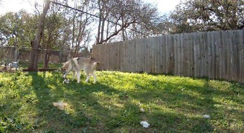 犬猫 狼犬と子猫05