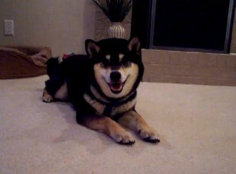 柴犬 roll over00